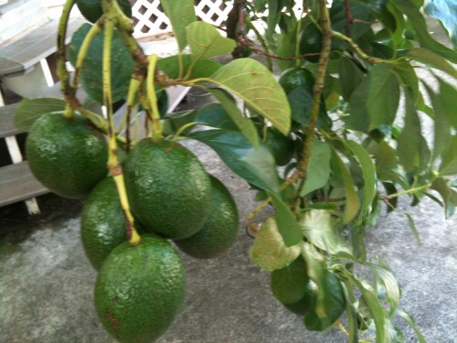 check out our avocados ... yum!!