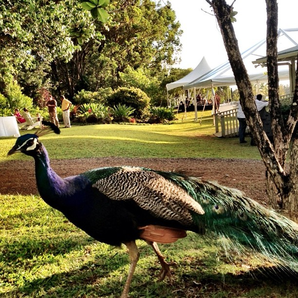 Today's gig features a peacock.  Where are we?!?